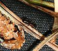 Flightless ichneumon wasp - Flickr - S. Rae.jpg