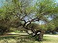 Flora of Tanzania 1734 Nevit.jpg