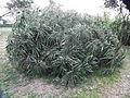 Flora of Tanzania 4764 Nevit.jpg