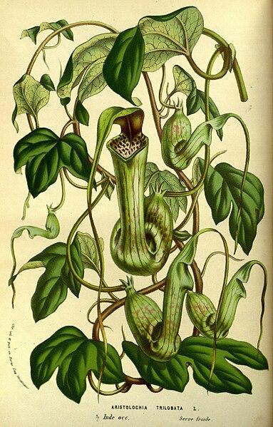 File:Flore des serres v14 021a.jpg