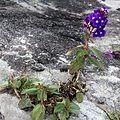 Flores roxas no Ibitipoca (2973).jpg