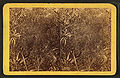 Florida jungle, from Robert N. Dennis collection of stereoscopic views.jpg