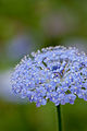 Flower, Blue lace flower - Flickr - nekonomania.jpg