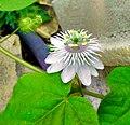 Flower in Guntur.jpg