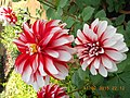 Flower in the beautiful gardens with a different shade.jpg