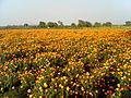Flowers in Guntur.jpg