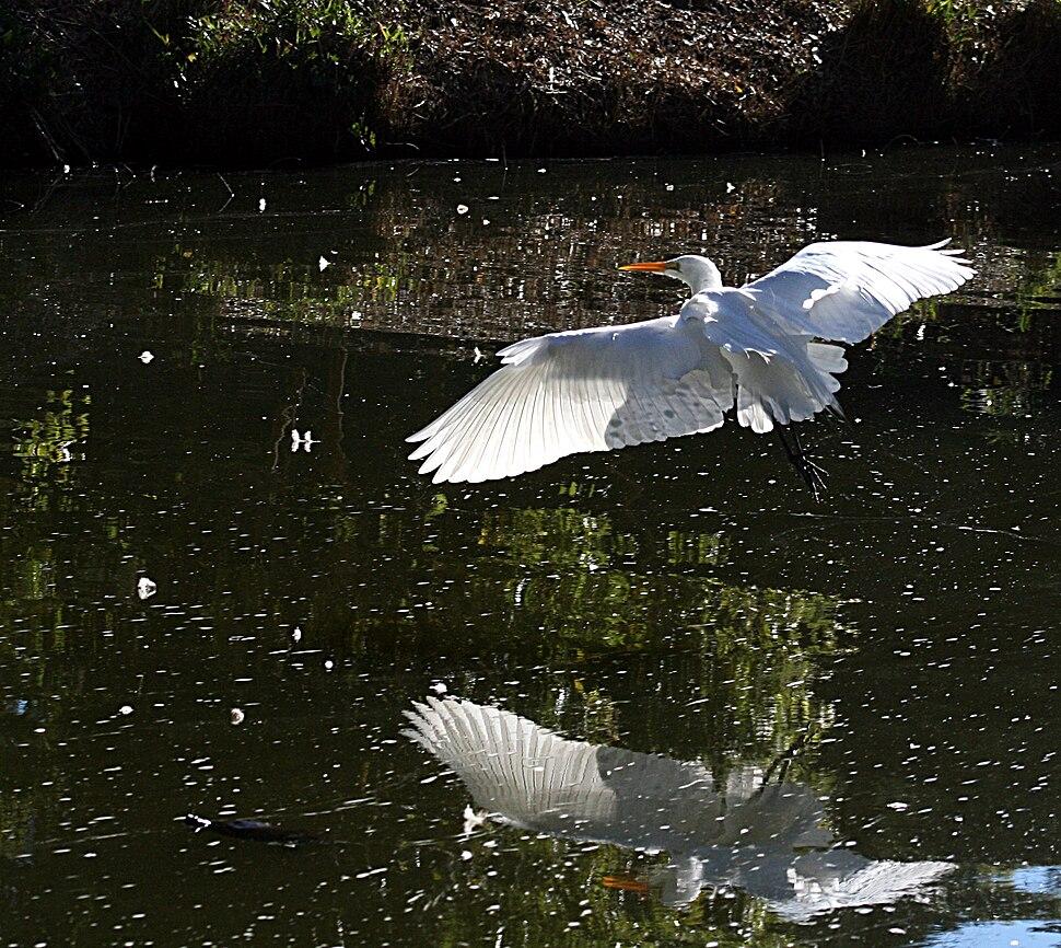 Flying great egret 1