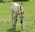 Foal (18217064879).jpg