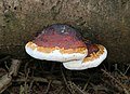 Fomitopsis pinicola 2016 G1.jpg