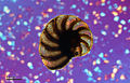 Foraminifera (251 02) Mediterranean Sea.jpg