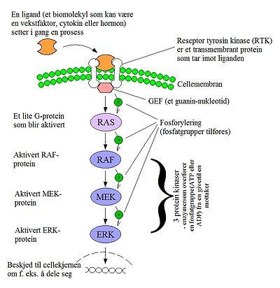 MAPK/ERK-signaltransduksjonsveien – Wikipedia