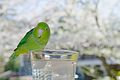 Forpus coelestis -pet perching on glass of iced water-8a.jpg