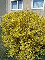 Forsythie (Oleaceae) 1.JPG
