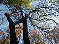 Fraxinus angustifolia (2).JPG