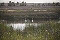 Fresh cygnets on Hawley pools at Seedskadee - Trumpeter swans (14651553320).jpg