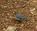 Fringilla coelebs -La Palma, Canary Islands, Spain-6.jpg