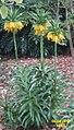 Fritillaria imperialis 'Lutea maxima' (SG) (33096688463).jpg