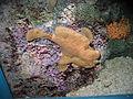 FrogfishSheddAquarium.jpg