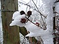 Frosty bramble, Christmas Common - geograph.org.uk - 298675.jpg