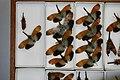 Fulgoridae Drawers - 5036724458.jpg