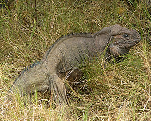 Mona ground iguana - Image: Full body shot of iguana in the grass