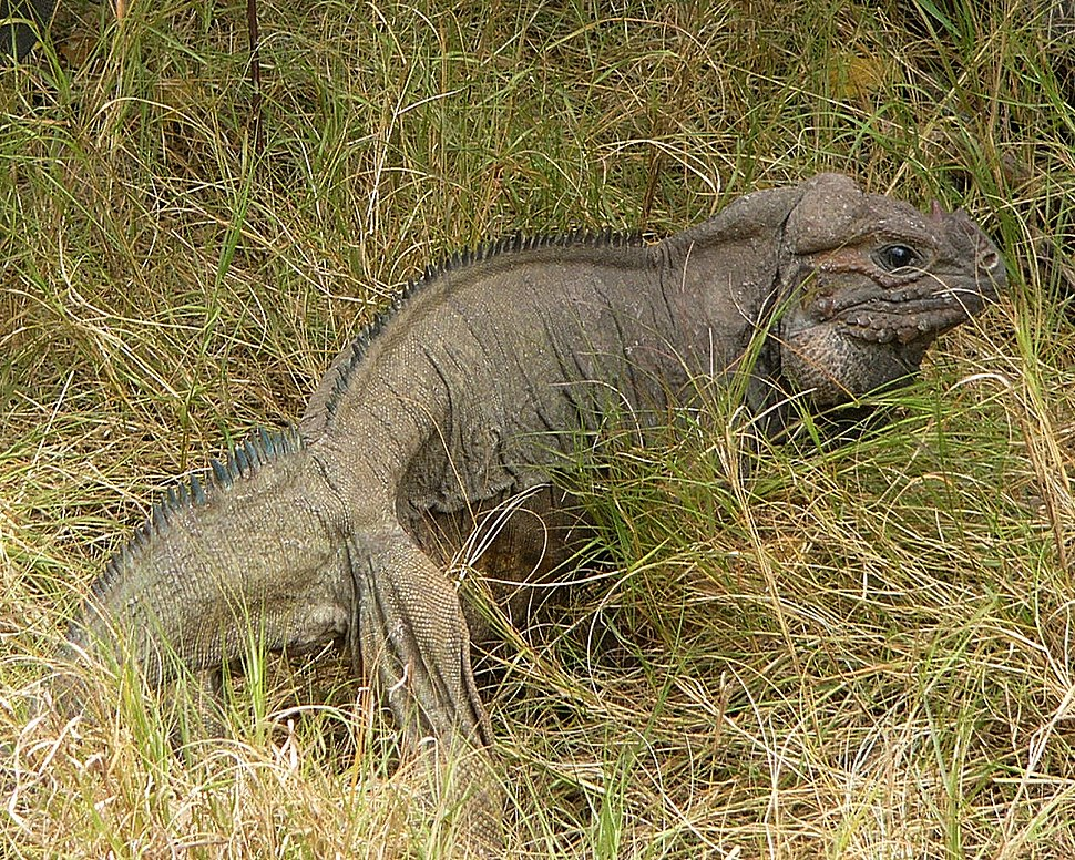 Full body shot of iguana in the grass