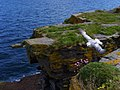 Fulmar at Clyth Harbour. - geograph.org.uk - 1365380.jpg