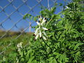 Fumaria capreolata flowerhead1 (14605412023).jpg