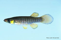 meaning of fundulus