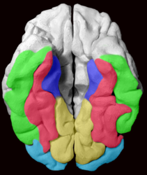 The Fusiform gyrus and all gyri adjacent to it, displayed on a 3D-printed brain of a healthy adult. As we view the brain from below, the right hemisphere is on the left side of the image