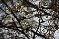 Fuyu-zakura, 'Cerasus × parvifolia 'Fuyu-zakura.JPG