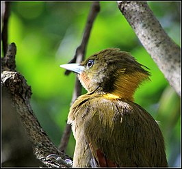 GREATER YELLOW-NAPED WOODPECKER (7908334332).jpg