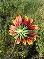 Gaillardia ×grandiflora sl6.jpg