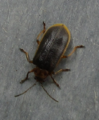 Galerucella nymphaeae 00.png