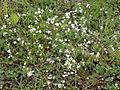 Galium uliginosum Oulu, Finland 14.06.2013.jpg