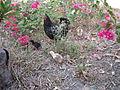 Gallina y sus pollitos.JPG