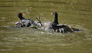 Moorhen - Common moorhens fighting