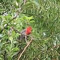 Gang-gang Cockatoo (Callocephalon fimbriatum)-3.jpg