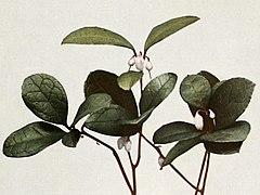 Gaultheria procumbens WFNY-158B.jpg