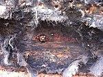 Generelt ertræet stabilt. Den gamle tjærefilt fjernes og træskroget skrabes rent. Bemærk sømhullernes tæthed (8446483413).jpg