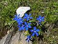 GentianaSwissBlue.jpg
