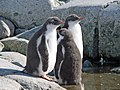 Gentoo penguin juvenile Petermann Island.jpg