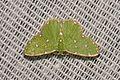 Geometrid Moth (Comostolodes sp.?) (16855708326).jpg