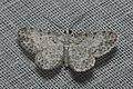 Geometridae (14971789419).jpg