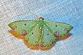 Geometridae (15112627922).jpg