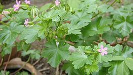 Geraniaceae, with flower.jpg