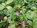 Geranium columbinum sl24.jpg