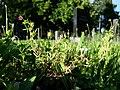 Geranium dissectum sl42.jpg