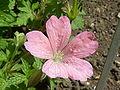 Geranium endressii 'Wargrave Pink' (Garaniaceae) flower.JPG