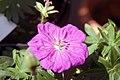 Geranium sanguineum New Hampshire Purple 3zz.jpg